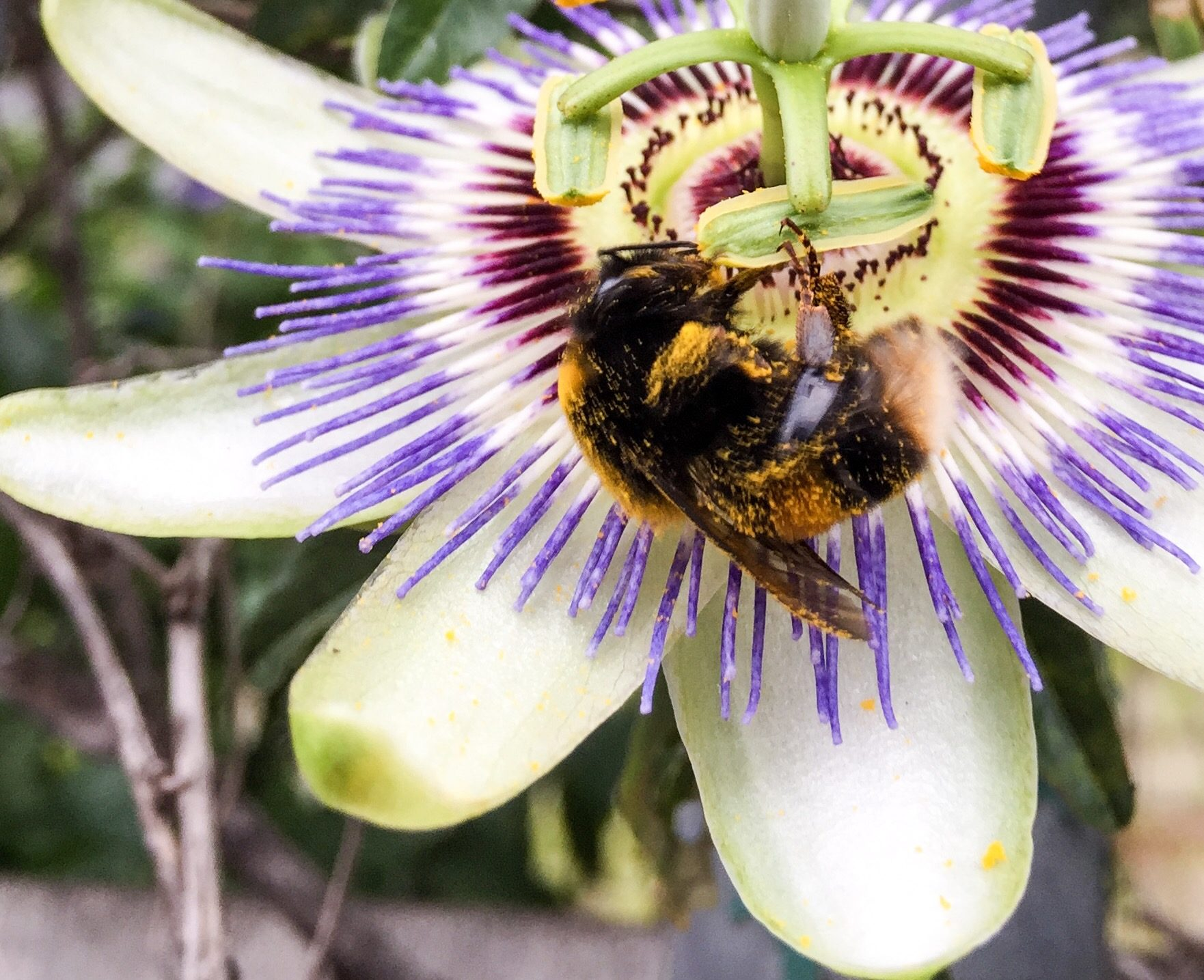 Bumblebee on a Passion flower covered in pollen